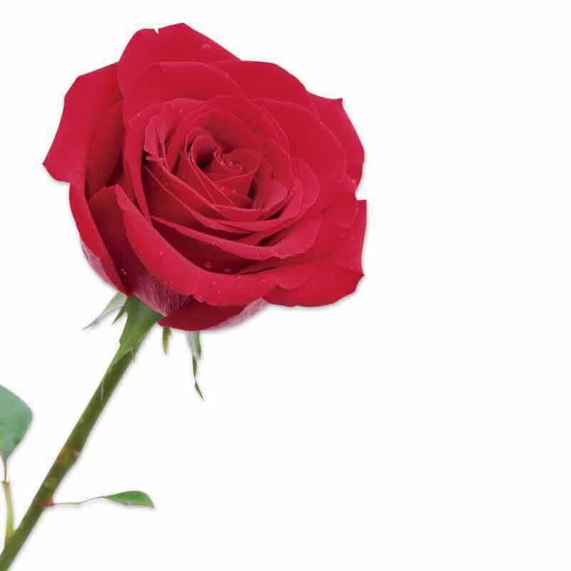 Miracle Roses 4538 004 b detail